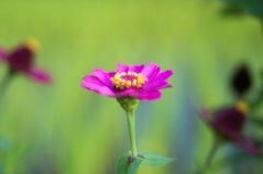 Rosa purpurfärgad gul mitt för blomma arkivbild