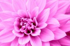 Rosa purpurfärgat foto för dahliablommamakro Färga bilden som betonar rosa skuggor och rödaktiga skuggor Fotografering för Bildbyråer