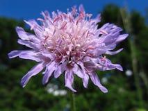 Rosa/purpurrote Blume Stockbild