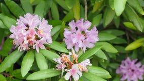 Rosa purpurrote Blumen von ein Rhododendronblütenstand Rhododendron roseum elegans stock video