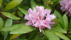 Rosa purpurrote Blumen von ein Rhododendronblütenstand Rhododendron roseum elegans stock footage