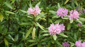 Rosa purpurrote Blumen von ein Rhododendronblütenstand Rhododendron roseum elegans stock video footage