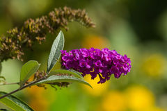 Rosa purpurrote Buddleja-Blume im Herbst Lizenzfreie Stockfotos