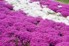 Rosa, purpurrote Flammenblume Stockbilder