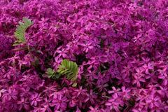 Rosa, purpurrote Flammenblume Lizenzfreie Stockfotos