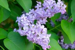 Rosa purpurrote Flieder mit grünem fotolia Lizenzfreies Stockfoto