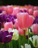 Rosa, purpurrote u. weiße Tulpen Lizenzfreie Stockfotos