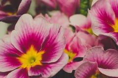 Rosa purpurrote und gelbe Primelblumen lizenzfreies stockfoto