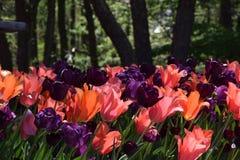Rosa purpurrote und orange Tulpen im Garten Stockbilder