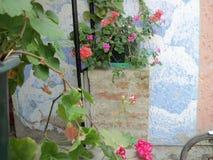 Rosa-, Purpurrote und rot-weißepelargonienblumen stockfotos