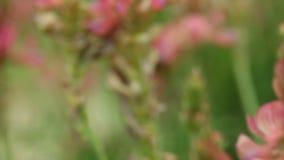 Rosa purpurrotes Veilchen blüht Wildflowers auf der Wiese stock footage
