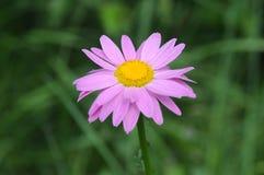 Rosa pyrethrum - sommarblomma Arkivbilder