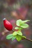Rosa-quadril Foto de Stock Royalty Free