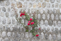 Rosa que cresce fora da parede Imagem de Stock