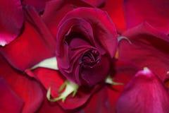 A rosa que desperta Imagens de Stock