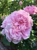 Rosa que floresce, flor cor-de-rosa do rosa foto de stock