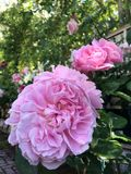 Rosa que floresce, flor cor-de-rosa do rosa da flor imagem de stock royalty free