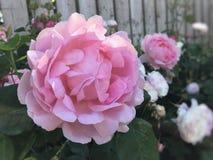 Rosa que floresce, flor cor-de-rosa do rosa do verão foto de stock