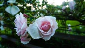 Rosa Queen Elizabeth Roses rosa immagine stock libera da diritti