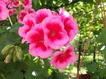 rosa röd blommacloseup arkivfoton