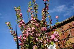 Rosa röd blomning Royaltyfria Bilder