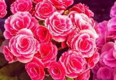 Rosa röda begonior Royaltyfri Bild