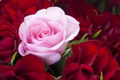 rosa röda ro royaltyfri bild