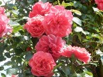 Rosa röda rosor i trädgården Arkivbild