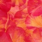 Rosa röda stora pionkronblad ovanf?r sikt abstrakt bakgrund royaltyfria bilder