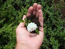 Rosa - rainha incondicional do jardim Fotos de Stock Royalty Free