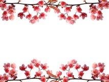 Rosa ram för körsbärsröd blomning Royaltyfri Bild