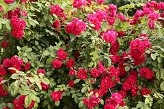 Rosa rampicante Immagine Stock Libera da Diritti