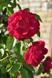 Rosa rampicante Immagini Stock Libere da Diritti