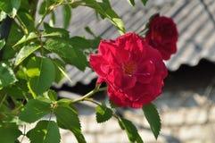 Rosa rampicante Immagine Stock