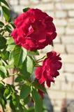 Rosa rampicante Fotografie Stock