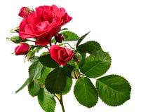 Rosa rampicante isolata su bianco Fotografia Stock
