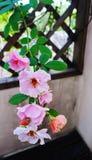 Rosa rampicante su traliccio di legno Fotografia Stock