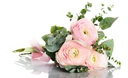 rosa ranunculus för blommor fotografering för bildbyråer