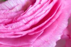 Rosa Ranunculusbakgrund Makro closeup För färgrik greetin arkivfoto