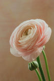 Rosa ranunculusblomma Royaltyfri Foto
