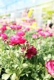 Rosa Ranunculussmörblommablomma i trädgården som omges av ye Royaltyfri Foto