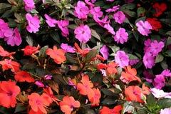 rosa red för blommor Arkivfoton