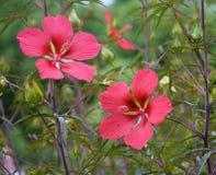 rosa red för blommor Arkivfoto