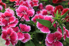 rosa regn för dianthus Arkivbilder