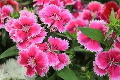 rosa regn för dianthus Royaltyfria Bilder