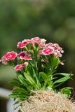 rosa regnbåge Fotografering för Bildbyråer