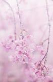 Rosa Retro- Weinlese der Kirschblüte Lizenzfreies Stockbild
