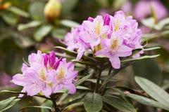 Rosa rhododendron Arkivbild