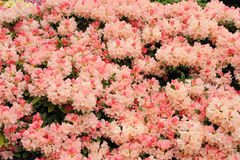 rosa rhododendron Arkivfoton
