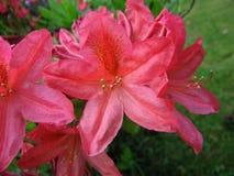 rosa rhododendron royaltyfri bild